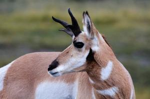 antelope-193273_640