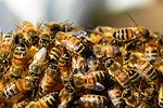 honey-bees-326334_150