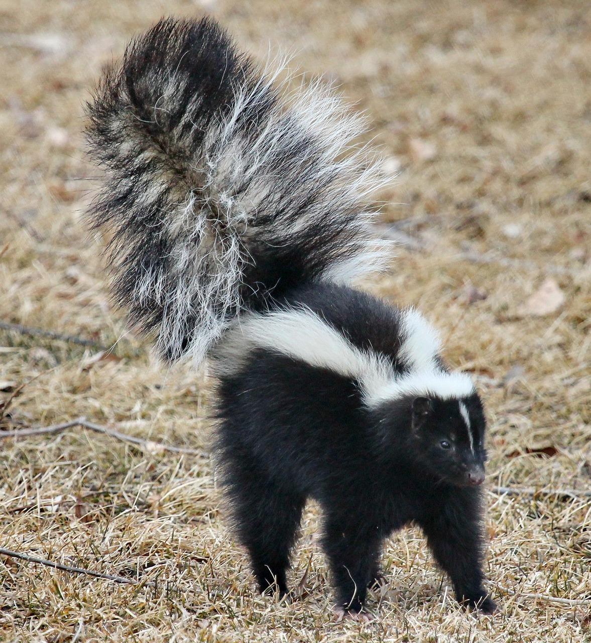 skunk-1239764_1280