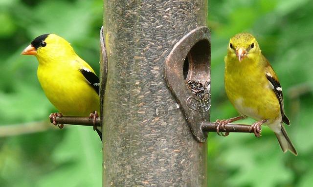 american-goldfinches-613469_640.jpg