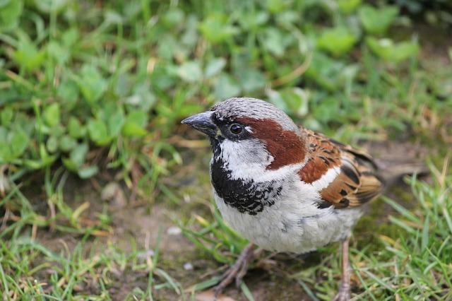 house-sparrow-84656_640.jpg