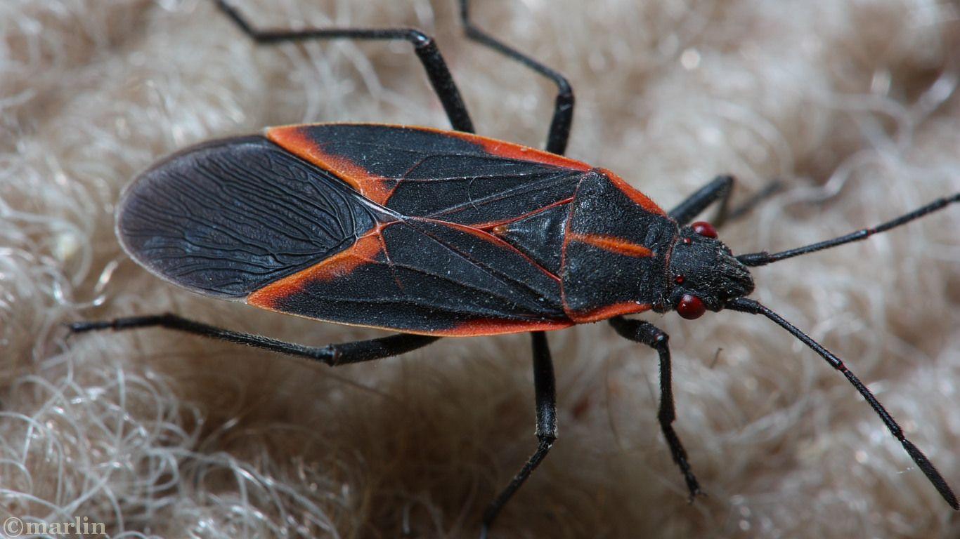 box-elder-bug