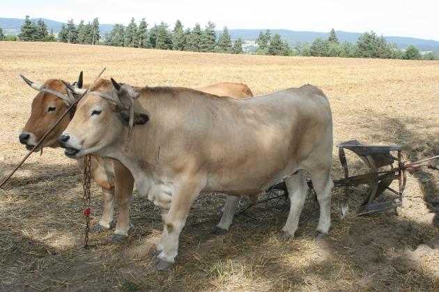 oxen-1670818_1280