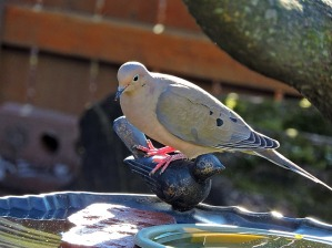mourning-dove-1601916_640.jpg