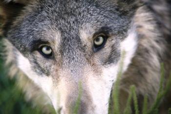 wolf-1284276_1920.jpg