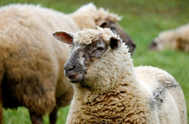 sheep-1323902_1280