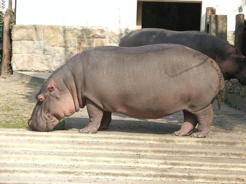 hippopotamus-1796313_640
