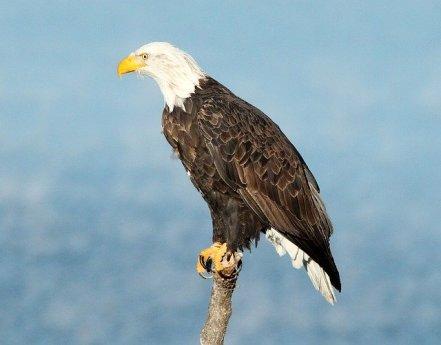 bald-eagle-1247115_640