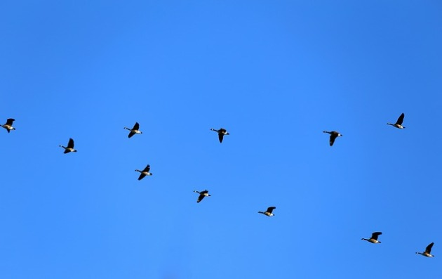 geese-580363_640