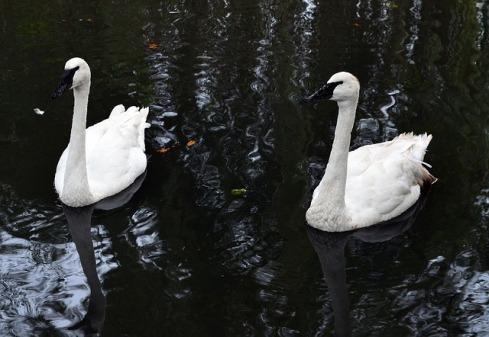 swan-2906180_640