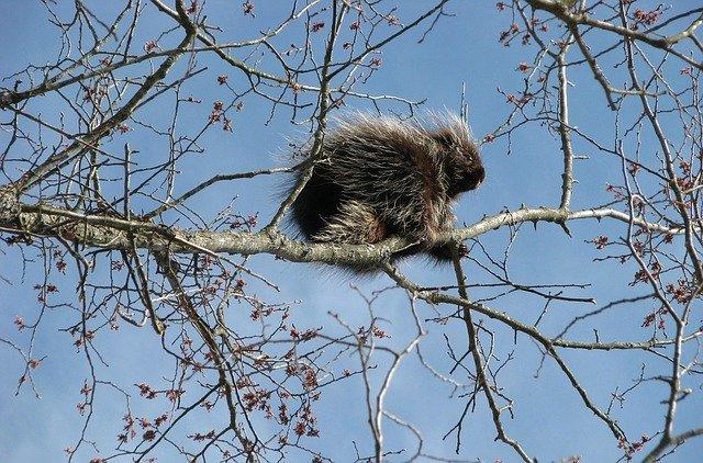 canada-porcupine-1554951_640